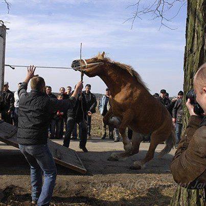Anhängerphobie - das Pferd will nicht, der Mensch zwingt es