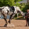 Shire Horse Show in Kiel 2016